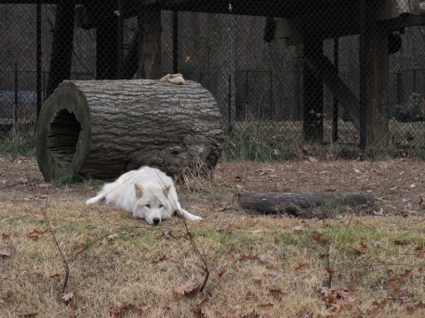 Lobo cinza, lindos!