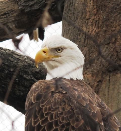 Bold Eagle!