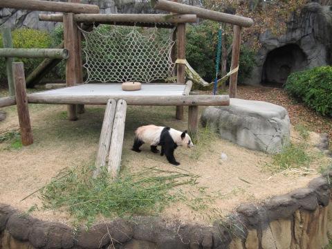 Em um dos poucos momentos de movimento... fica o tempo todo comendo os bambus...